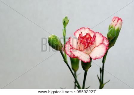 Vibrant Double Carnation