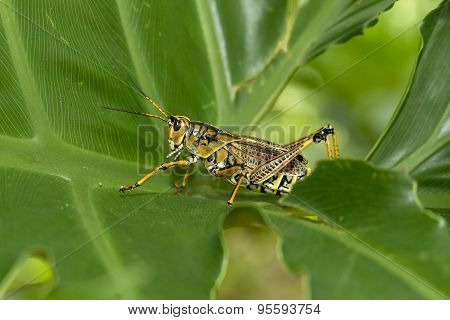 Locust Walking On Green Leaf.