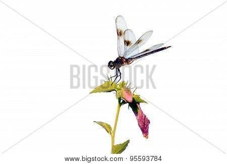 Dragonfly On Plant.