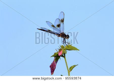 Dragonfly Resting On Leaf.
