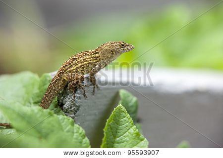 Gecko In A Garden.