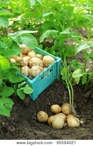 New potatoes in wooden crate over soil background