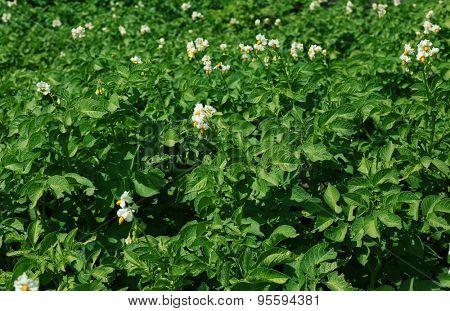 Potato plantation background