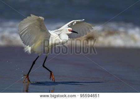 Egret Flaps Its Wings While Running.