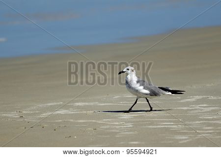 Laughing Gull Near Water.