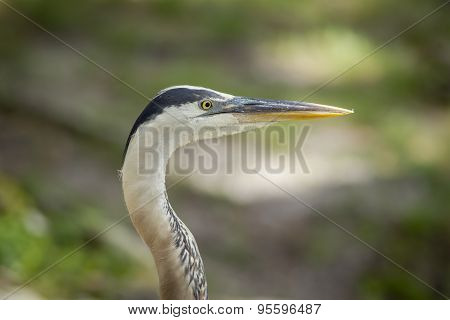 Close Up Of Heron.