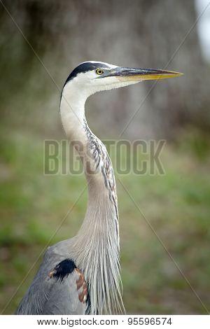 Portraiture Of Great Blue Heron.