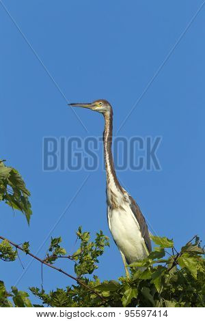 Long Neck Of Tri Colored Heron.