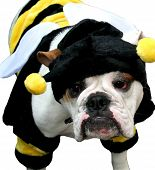 foto of droopy  - adorable bulldog dressed as a yellow striped bumble bee - JPG