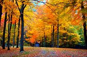 image of fall trees  - fall foliage in state forest in connecticut usa - JPG