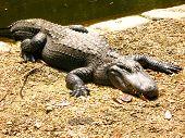 picture of alligators  - Alligator laying on rocks sunbathing in central Florida - JPG