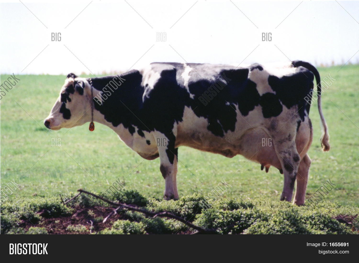 Cow Side View Stock Ph...