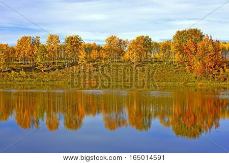 Autumn Scenery with Aspen Trees in prime fall colors reflecting in pond.