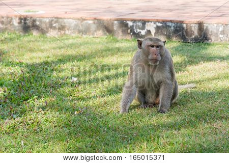 One Monkey sitting on green grass in sunny day