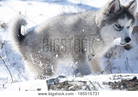 Husky puppy, gray, SIBERIAN, play, dog, blue eyes, fluffy, playful, malamute, pet, pets SMALL