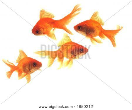 Goldfish Four