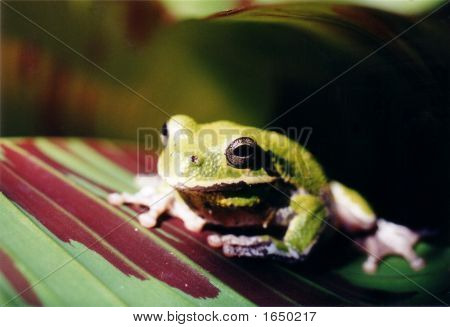 Large Tree Frog1