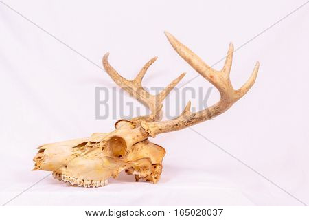 Natural unbleached deer skull with white background.