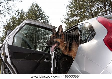 German Shepherd Dog Is In A Car In Summer Day