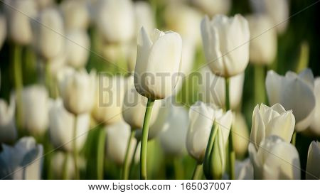 White tulips beautiful bouquet of tulips. tulips in spring colourful