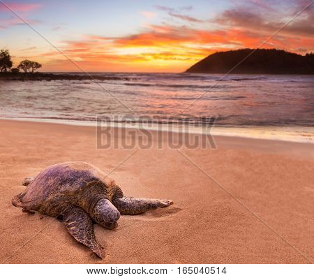 Beached green sea turtle on sand at Moloa'a Beach on east coast of Kauai in Hawaii
