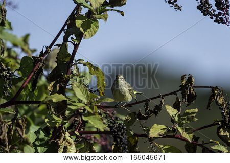 Palm Warbler on pokeberry shrub pausing to make eye contact