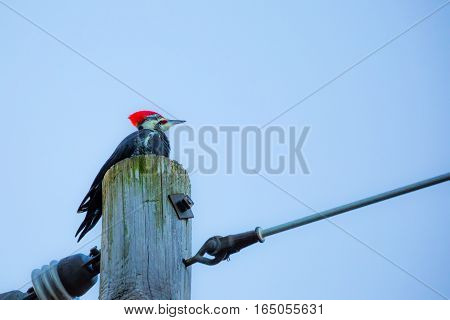 Pileated Woodpecker (Dryocopus pileatae) perched on top of a telephone pole.