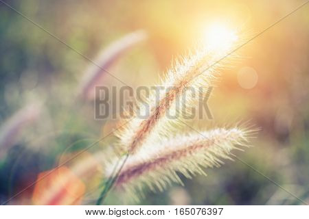 Soft Focus Of Grass Flower With Sunset Light And Flare. Vintage Filtered.