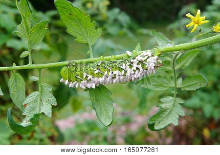 Paralyzed Tobacco/Tomato Horn Worm as host to parasitic braconid wasp eggs on a Tomato Plant.