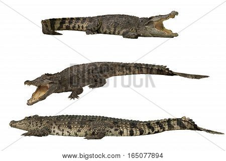 Isolated crocodile - Image of wild crocodile isolated in white background. Crocodile or true crocodile are reptiles that live throughout the tropics in Africa Asia the Americas and Australia.