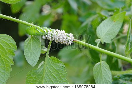 A Tobacco/Tomato Horn Worm as host to parasitic braconid wasp eggs on a Tomato Plant in a garden.