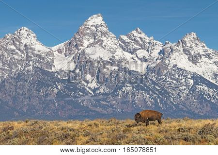 Lone Bison Grazing With Grand Tetons Backdrop