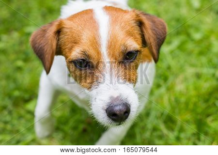 Jack Russell Terrier Walking In The Summer