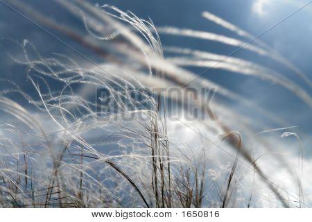 Feather-Grass