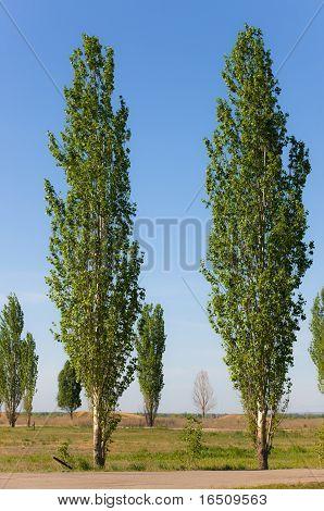 Spring Poplars