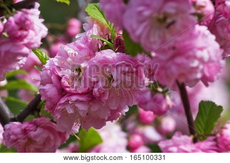 flowering bush of pink almond close up