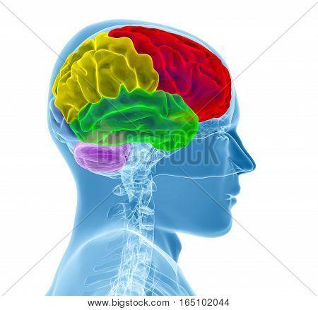 Brain model xray isolated on white background