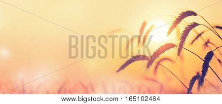 Colorful background with ripe ears of wheat on sunset background