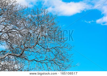 Tall trees without leaves in country garden