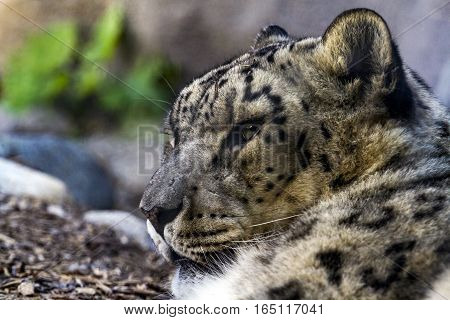 A Leopard laying in the shade at the Toronto Zoo