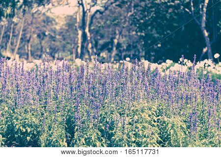 Beautiful lavender flower in the garden with colorful sunlight vintage tone style.