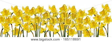 Yellow Daffodils (narcissus) Flowers, Close Up, White Background, Isolated.