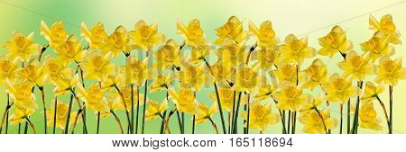 Yellow Daffodils (narcissus) Flowers, Close Up, Gradient Background, Isolated.
