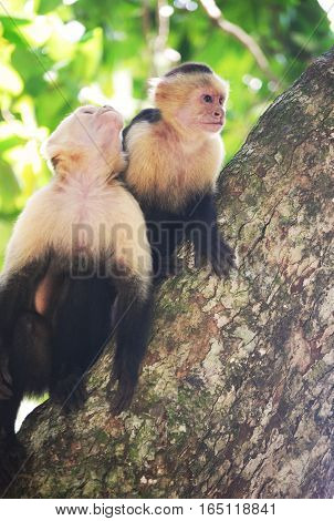 curious white head monkeys survey the tourists in Costa Rica