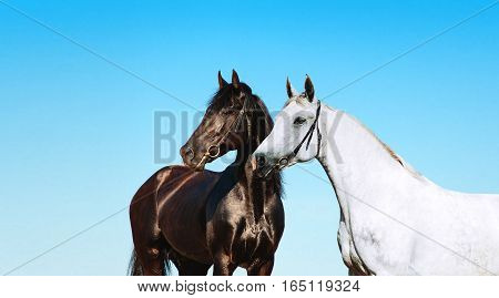 Pair of black and white portrait of a horse on a background of blue sky. Two horses stand side by side