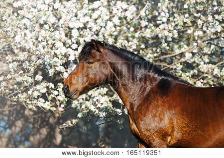 Beautiful portrait of a bay horse on a background of a blossoming tree in spring. Pony posing closeup