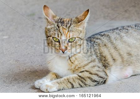 Colored domestic cat with green eyes close up portrait