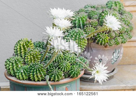 White Cactus Flowers, Green Cactus, Flowerpot, Close Up.