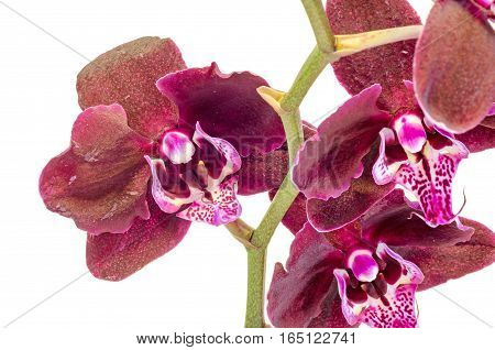 Purple Brown Branch Orchid  Flowers, Orchidaceae, Phalaenopsis Known As The Moth Orchid, Abbreviated