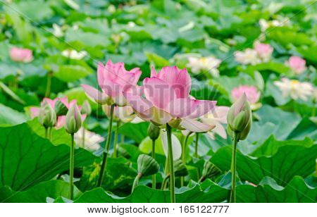 Nuphar flowers green field on lake water-lily pond-lily spatterdock Nelumbo nucifera also known as Indian lotus sacred lotus bean of India lotus.